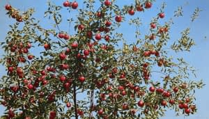 Photorealist painting by Josonia Palaitis depicting an apple tree with a blue sky backdrop with scores of ripe red apples ready to pick